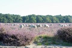 Heide-schapen