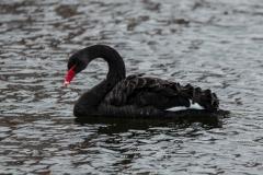 Zwarte-zwaan-1